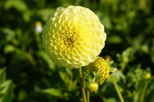 Dahlia Golden Torch - BIO