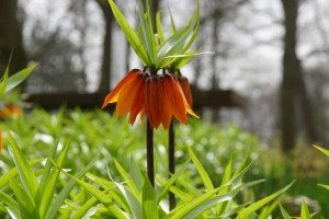 Fritillaria imp. Early...