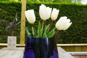 Tulipa White Flag