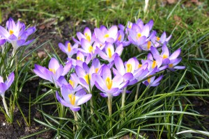 Crocus Barr's Purple - BIO
