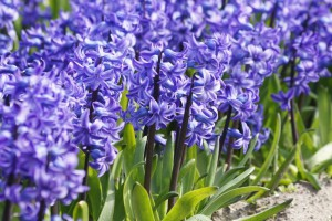 Hyacinthus Blue Star